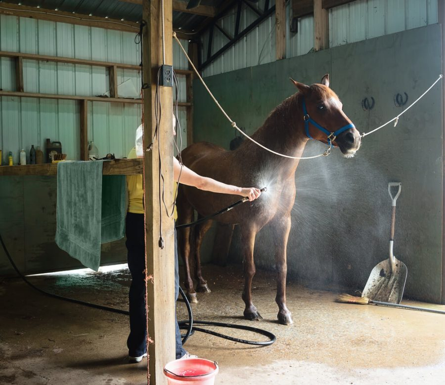 Woman washing a chestnut gelding horse in a barn.