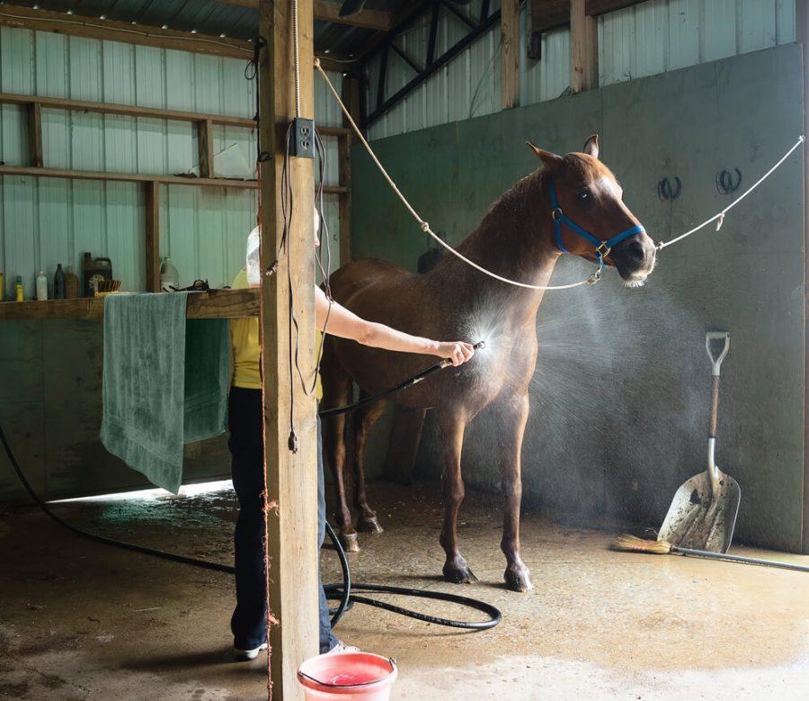 Woman washing a chestnut gelding horse in a barn.